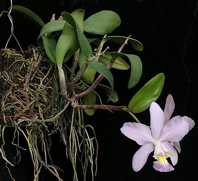 heathiicoeruleaplantside0420.jpg
