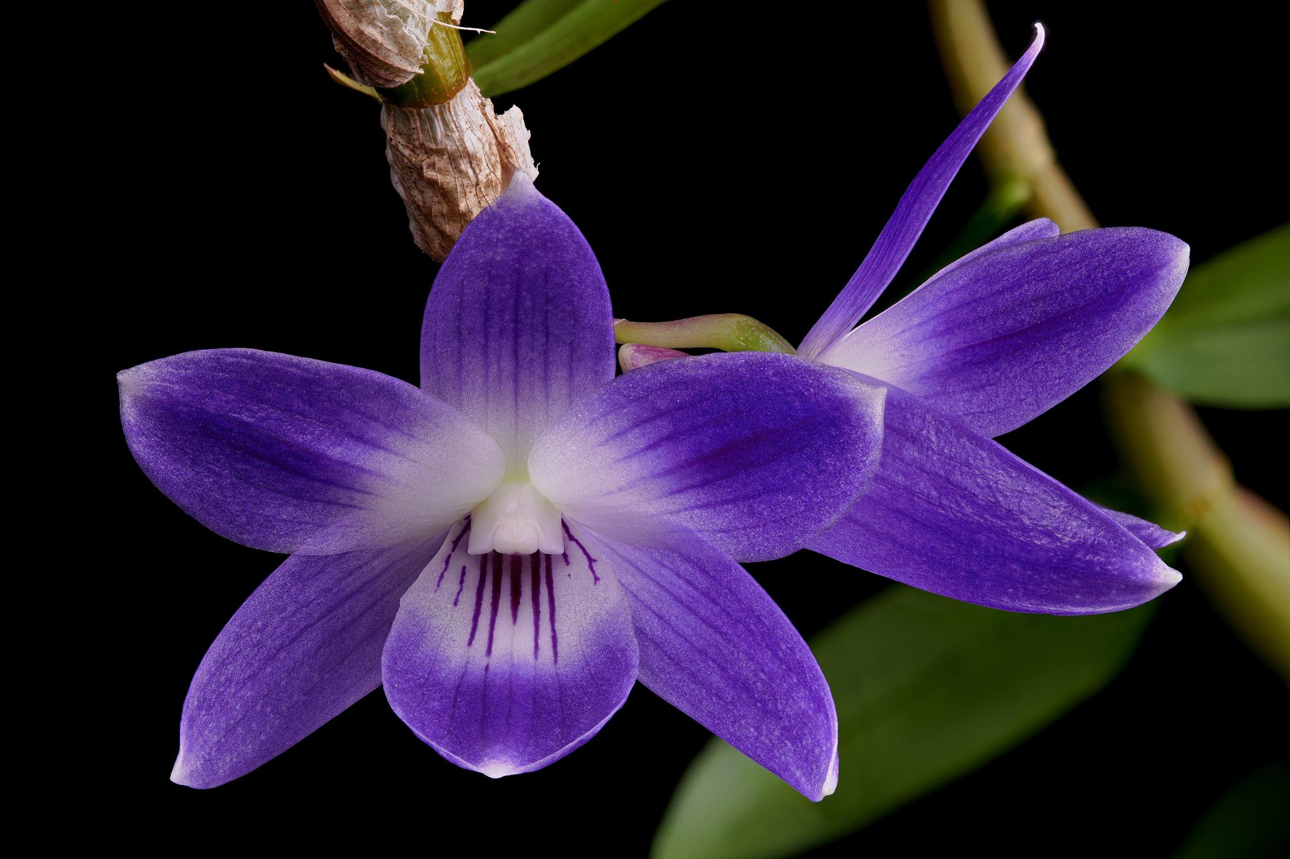 Dendrobium victoria-reginae flowers.jpg