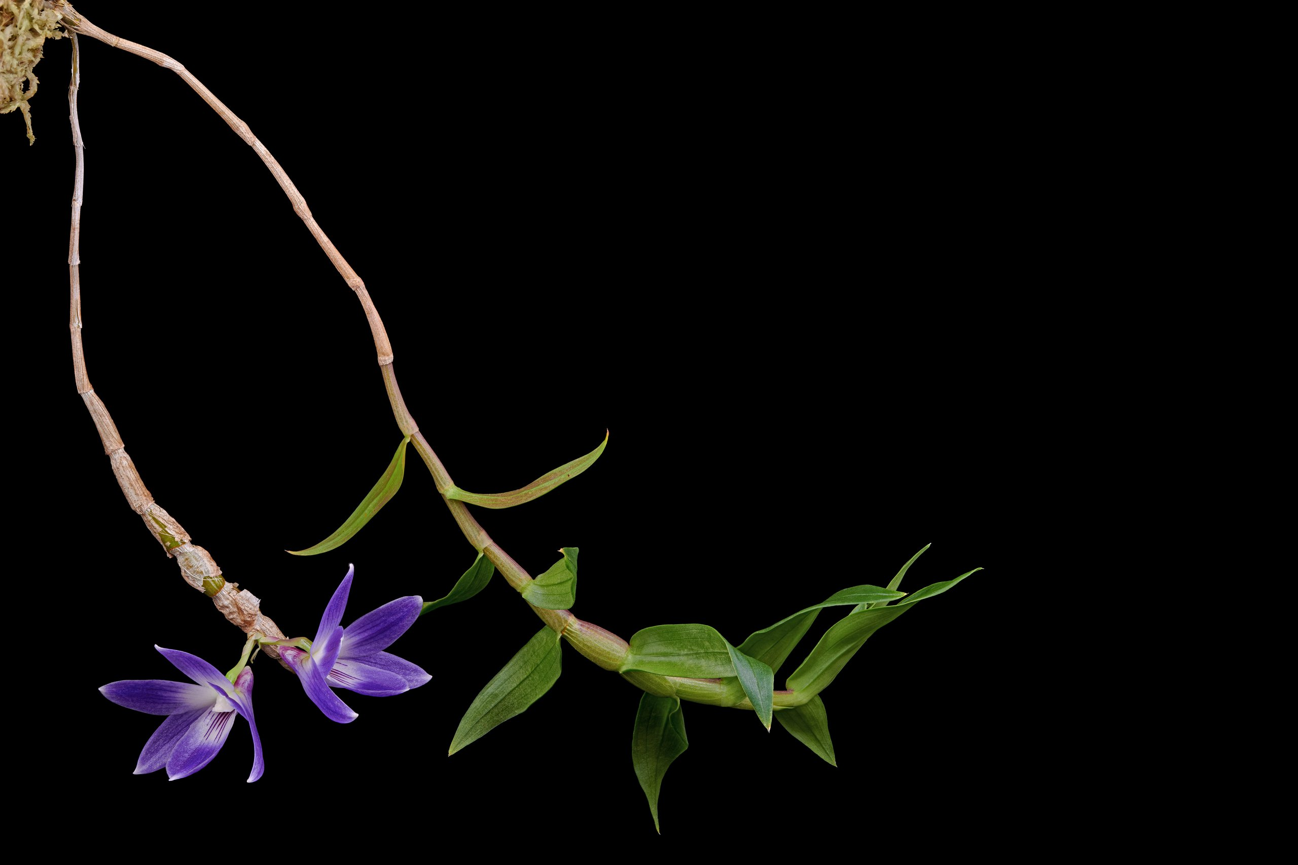 Dendrobium victoria-reginae.jpg