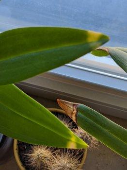 Dendrobium and Paphiopedilum.jpg