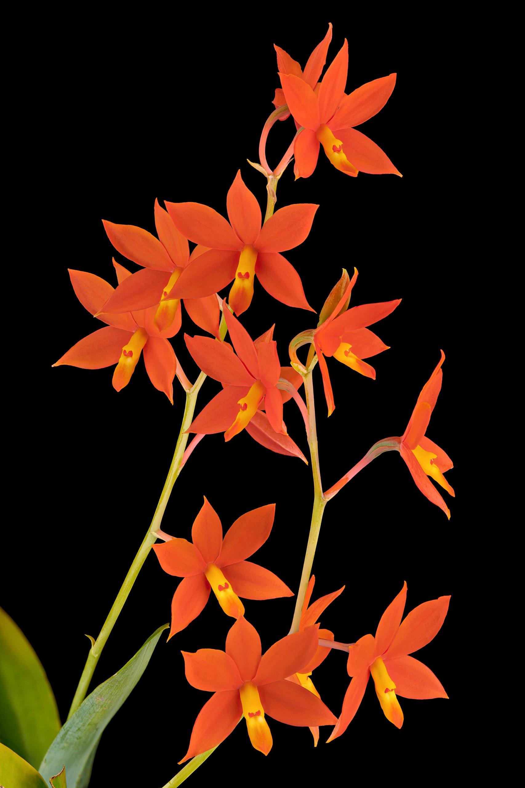 Encyclia vitellina flowers 05.25.20.jpg