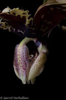 Stanhopea tigrina var. nigroviolacea-200630--8.jpg