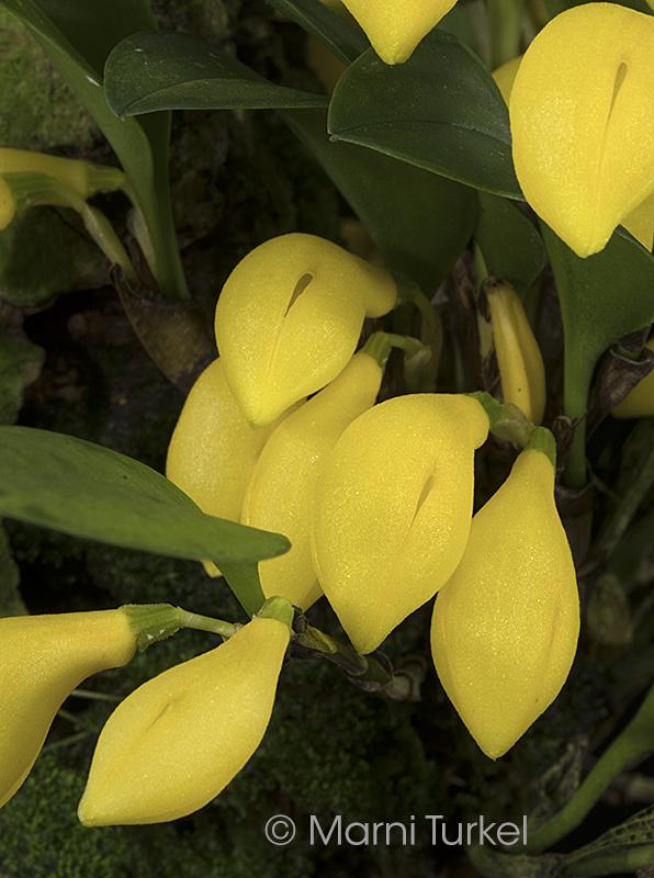 Zootrophion.alvaroi.xanthina.2314.cluster.jpg