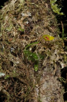 07 Bulbophyllum sp 2019-07-20 14-59-25 0831.jpg