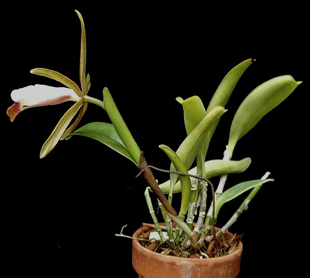 araguaiensisplant0920.jpg