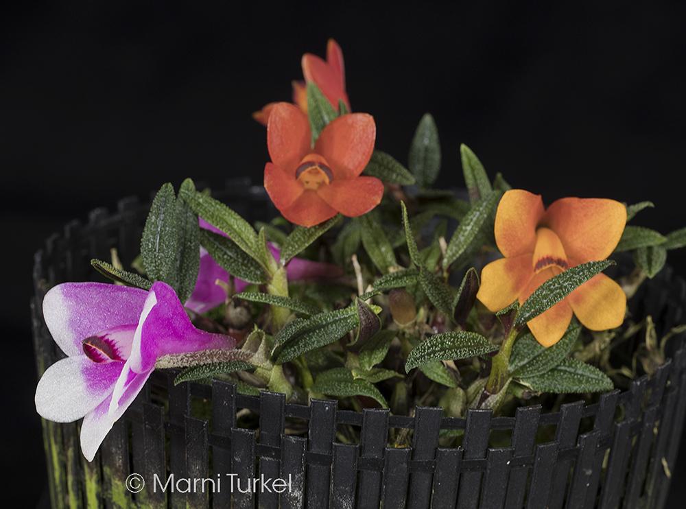 Dendrobium cuthbertsonii cp 2614-3268.jpg