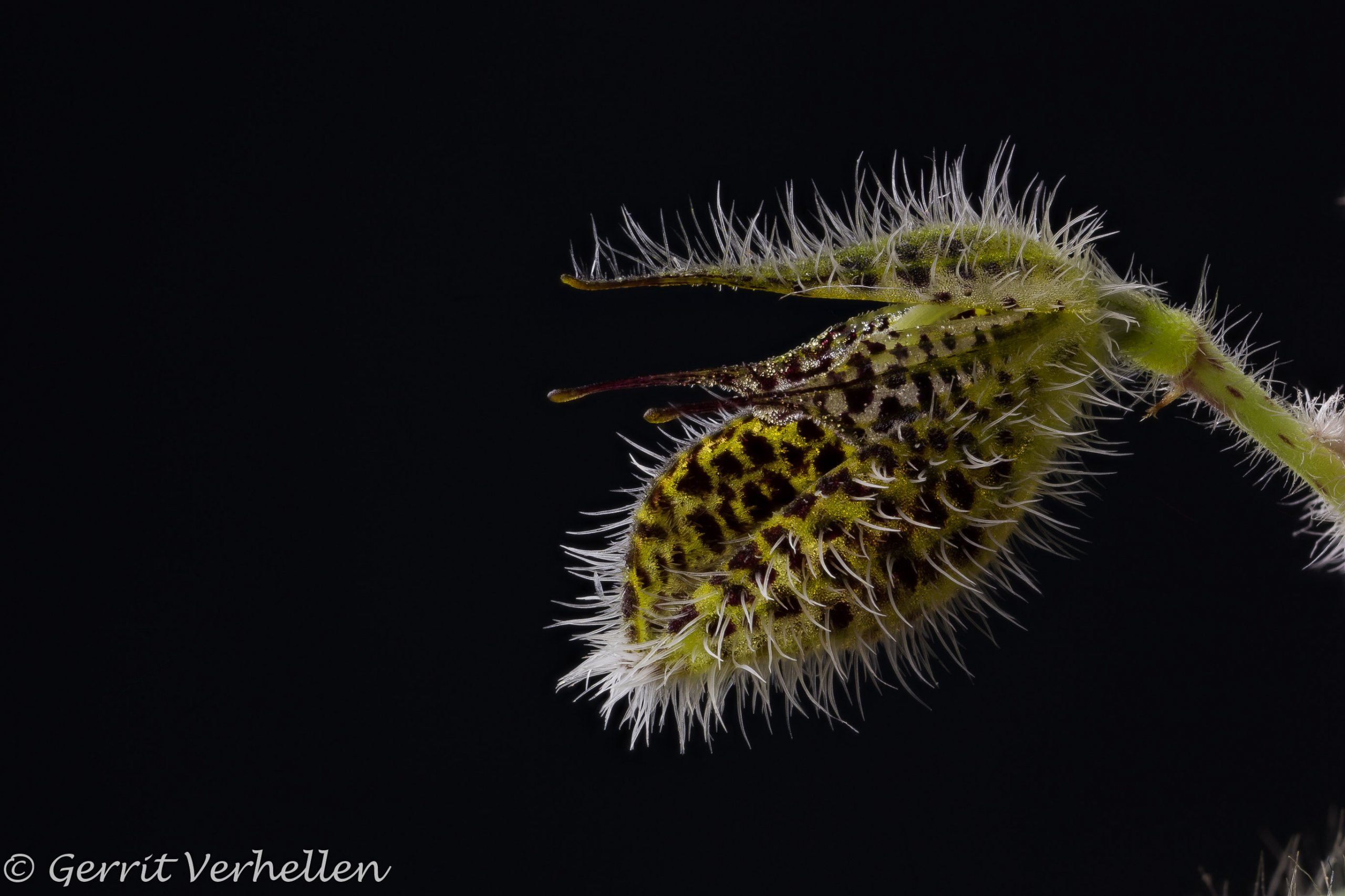 Dresslerella hirsutissima-201115-.jpg