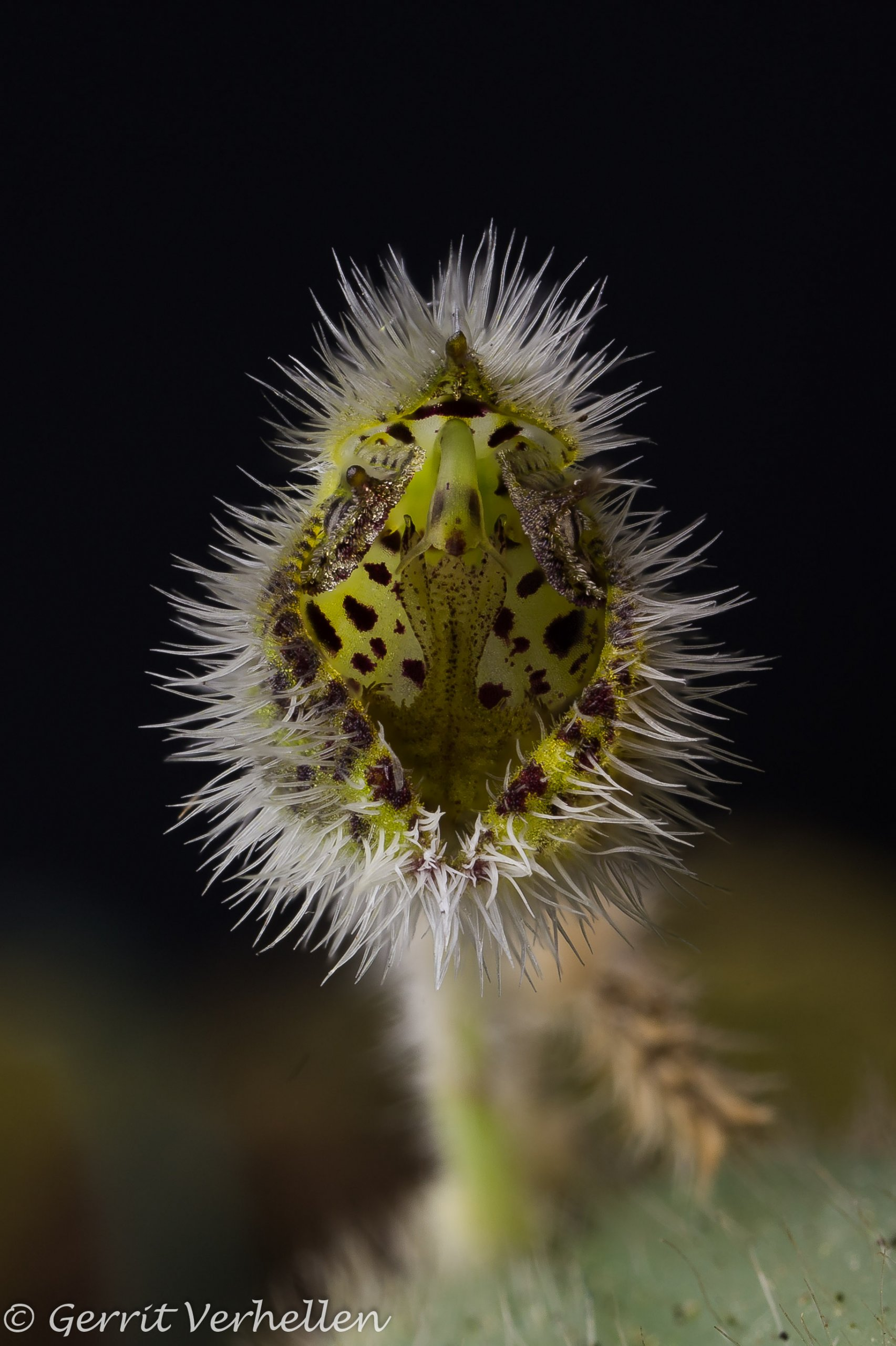 Dresslerella hirsutissima-201115--2.jpg