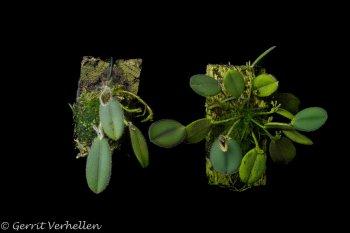 Dresslerella hirsutissima + D. lasiocampa-201118-.jpg