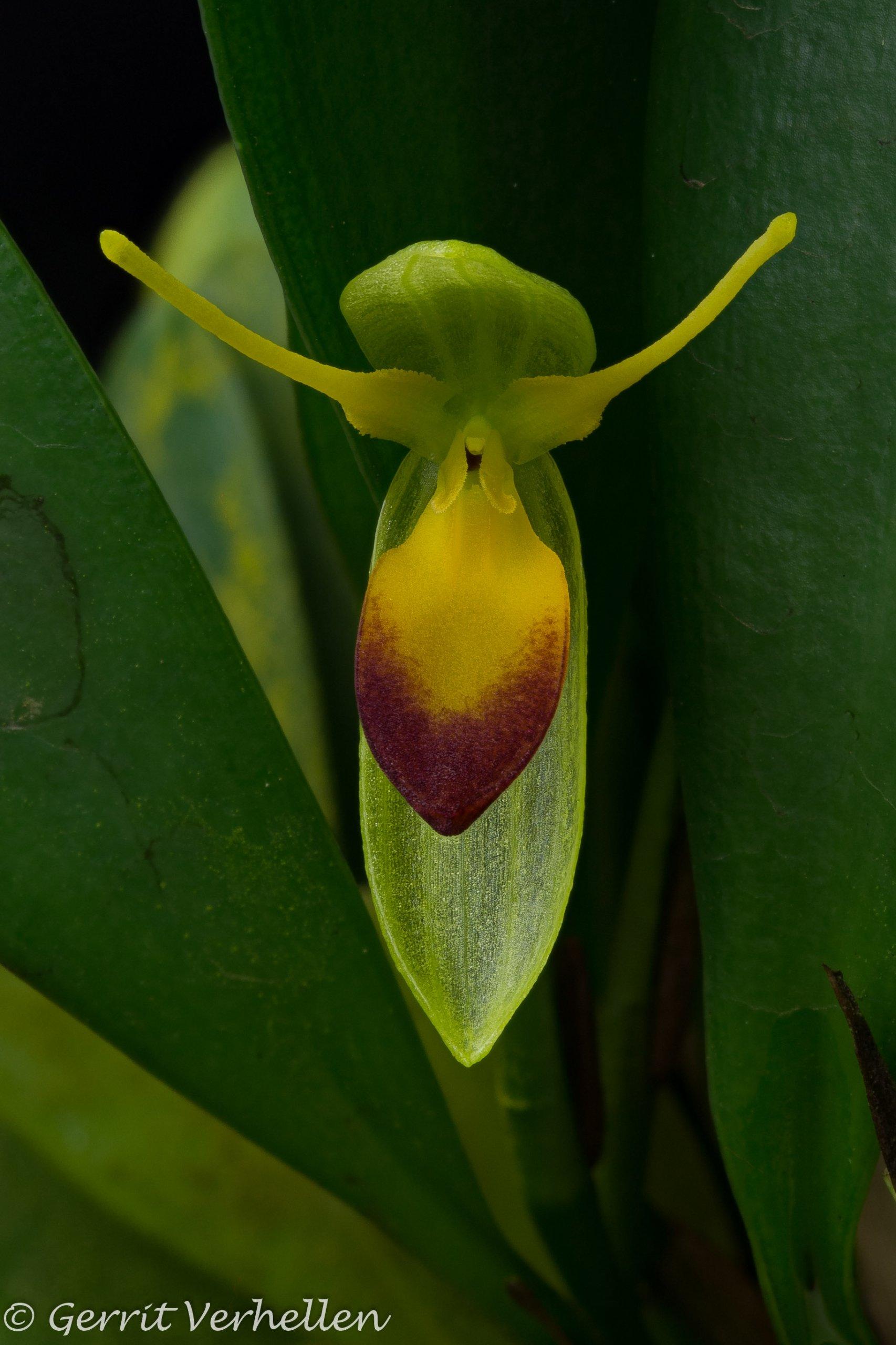 Pleurothallis medinae -201128-.jpg