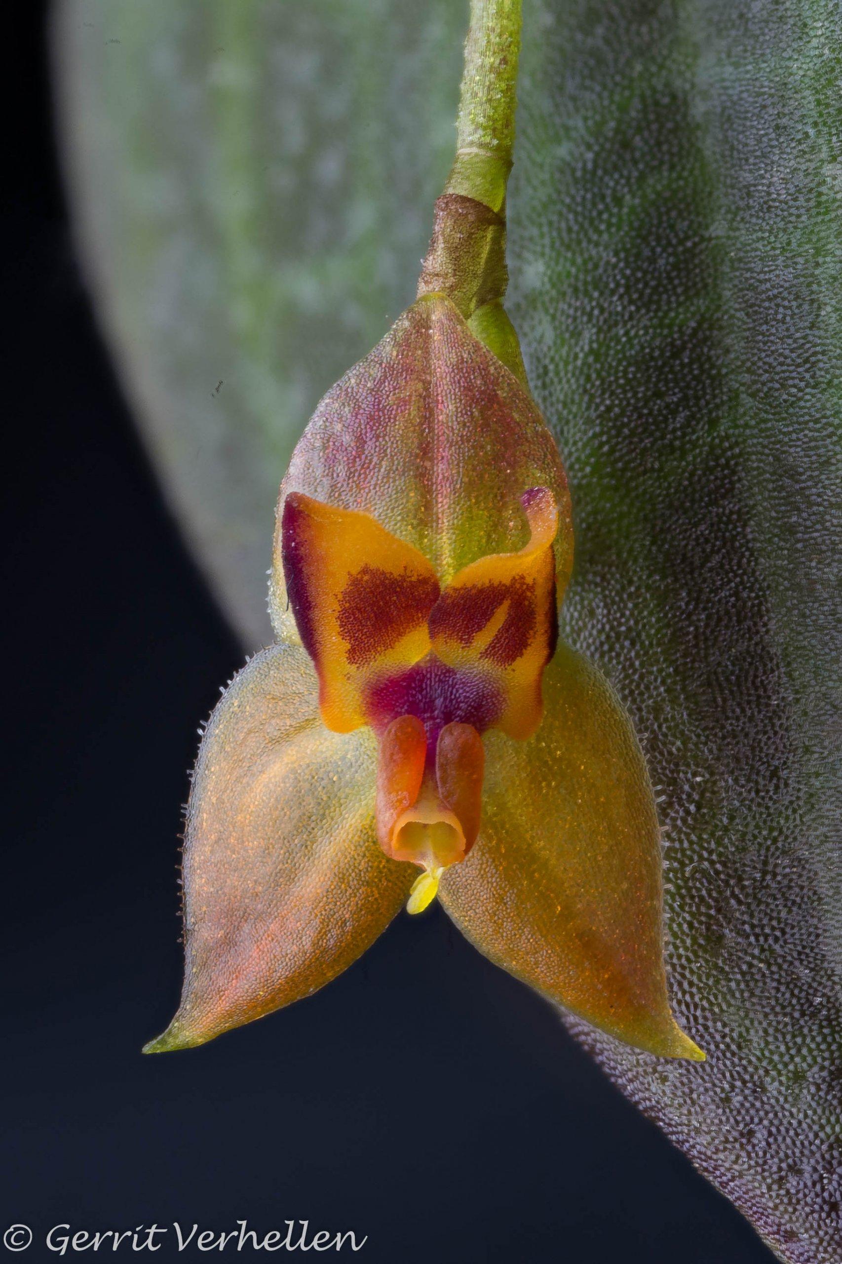 Lepanthes subdimidiata-201202-.jpg