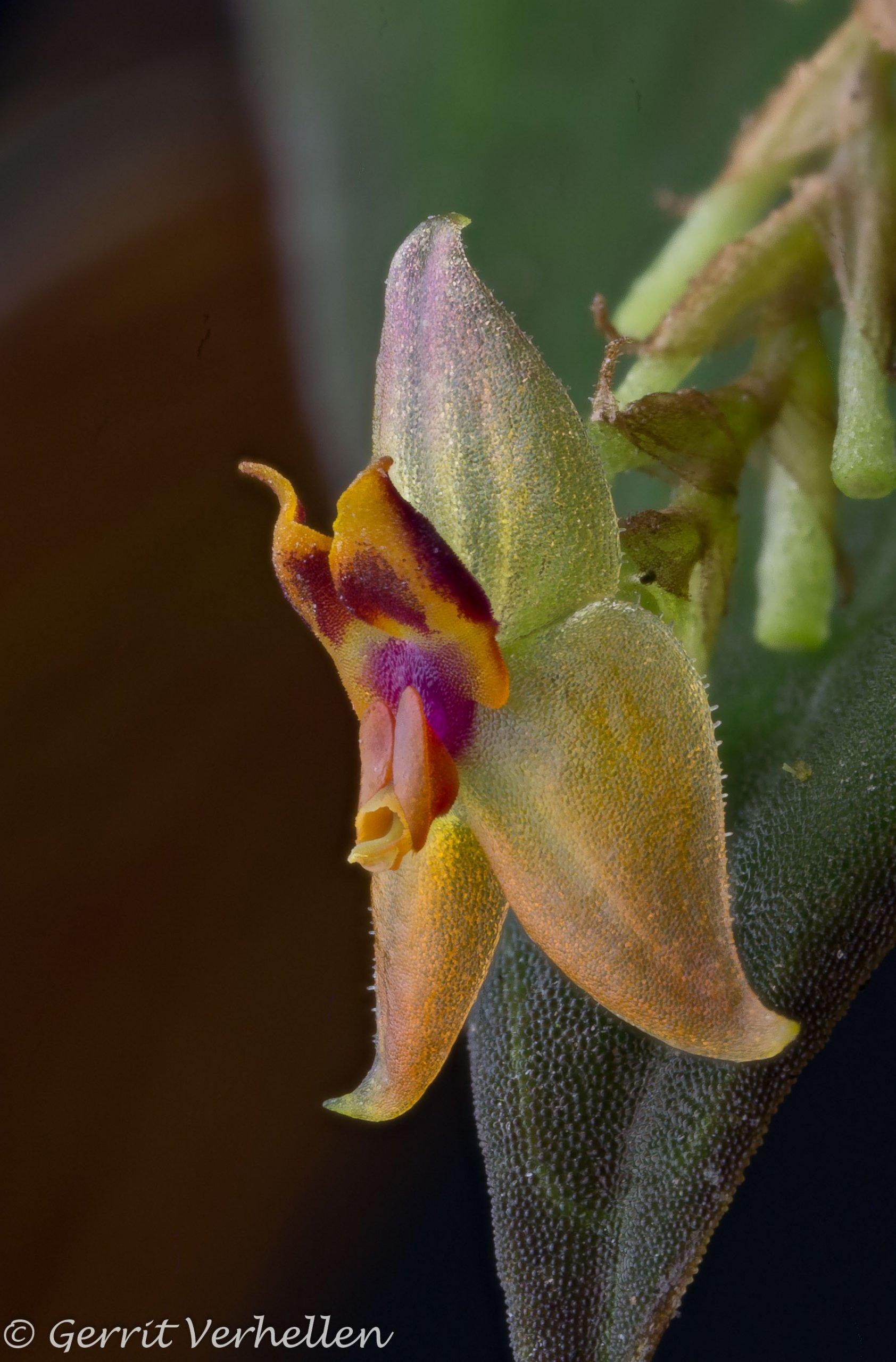 Lepanthes subdimidiata-201202--3.jpg