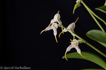 Masdevallia caloptera-210120-.jpg