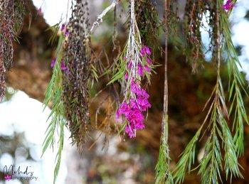 Dendrobium limpidum 2.jpg