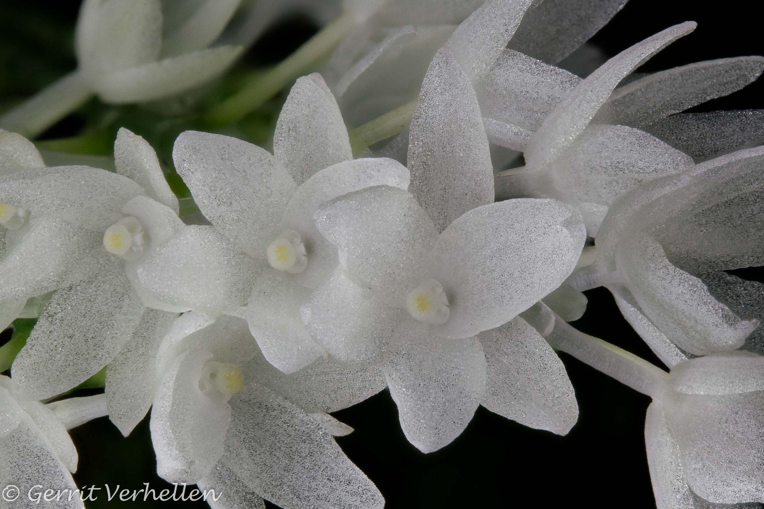 Aerangis hyaloides-210125--5.jpg