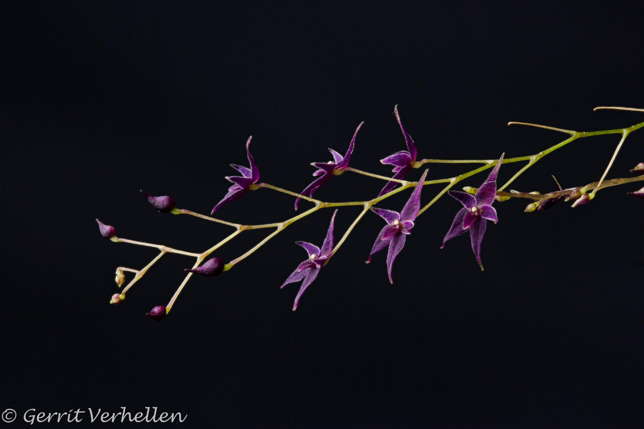 Lepanthopsis astrophora-210213--2.jpg