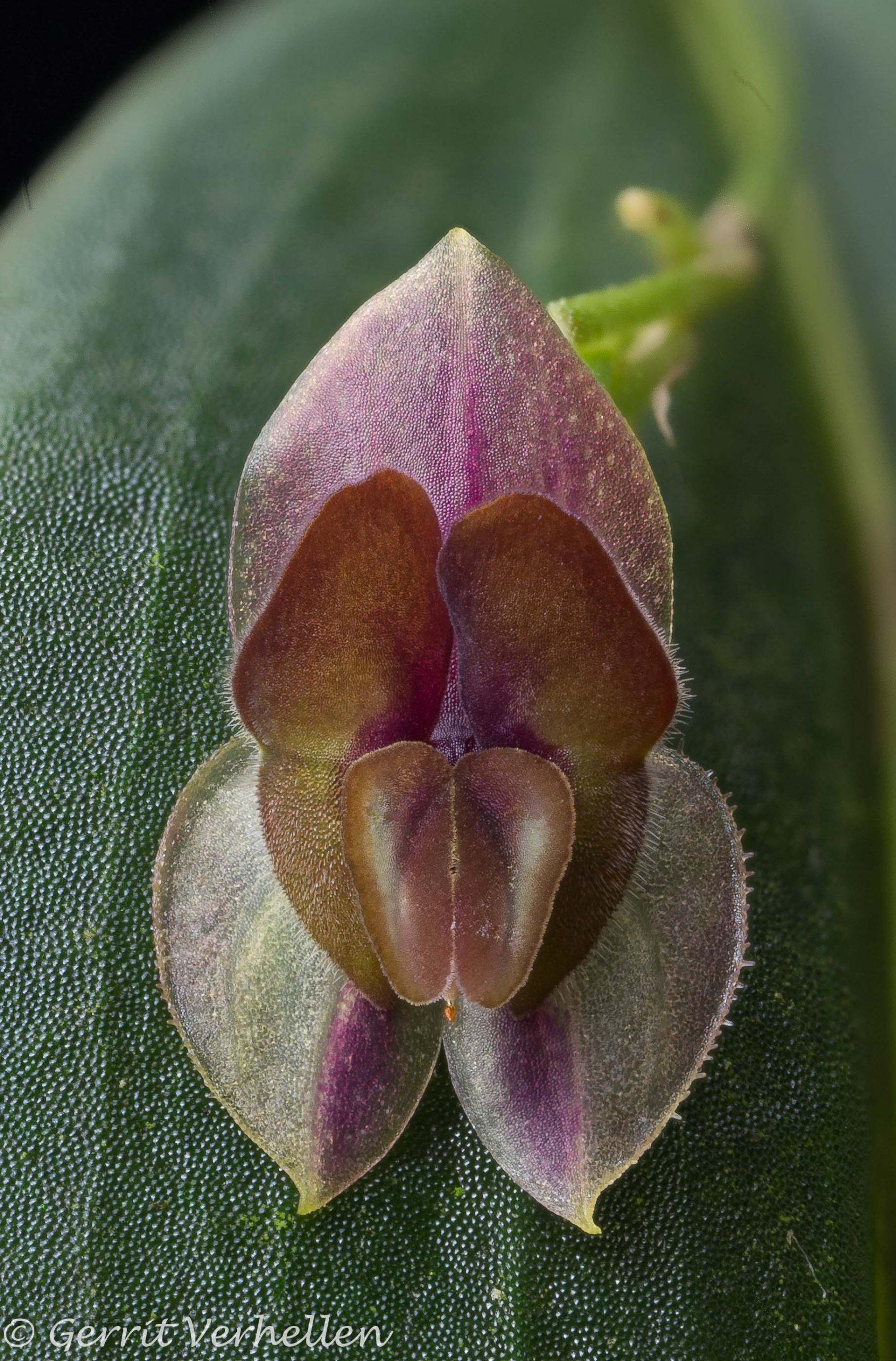 Lepanthes hymenoptera-2.jpg
