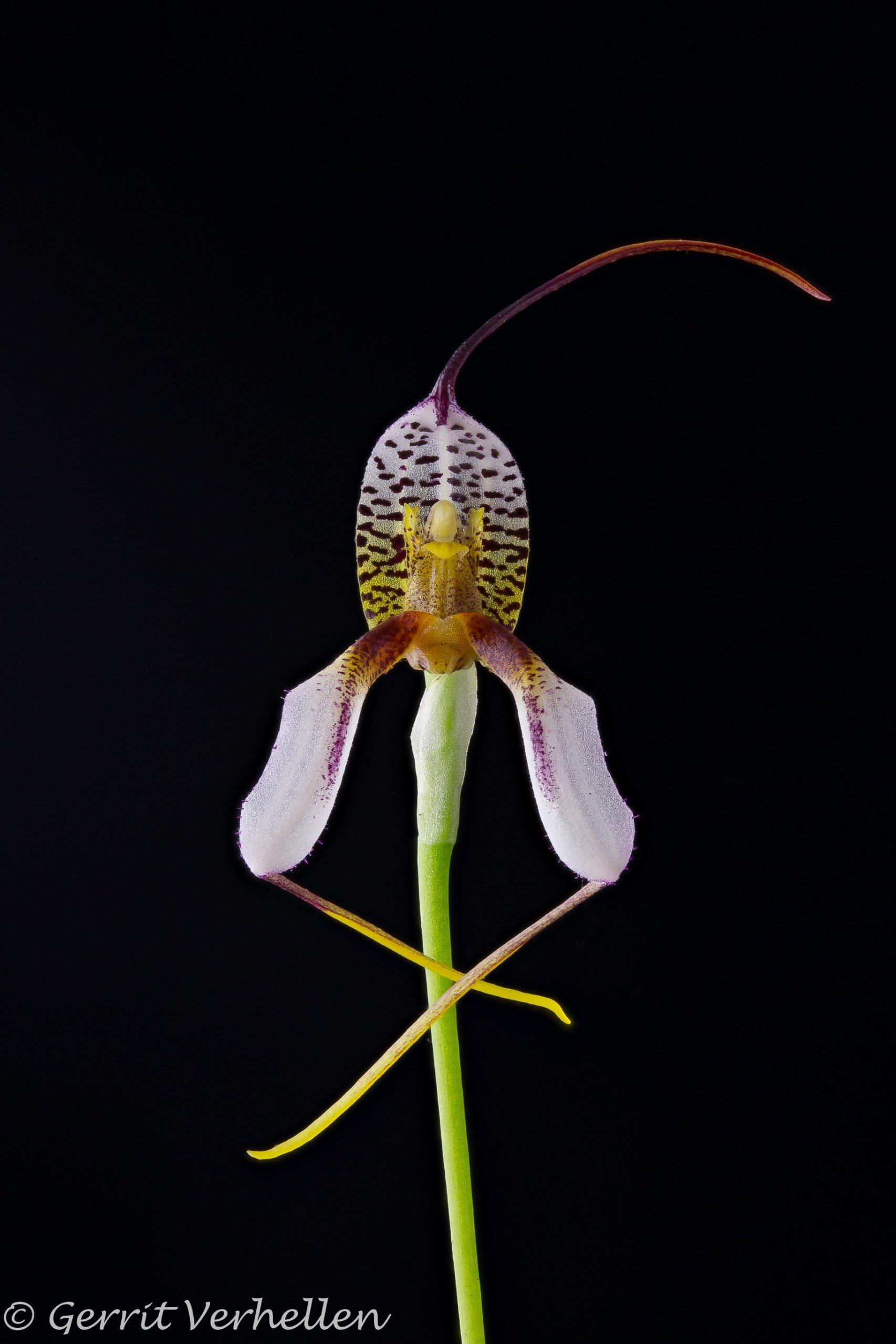 Masdevallia hortensis-210407-1-2.jpg
