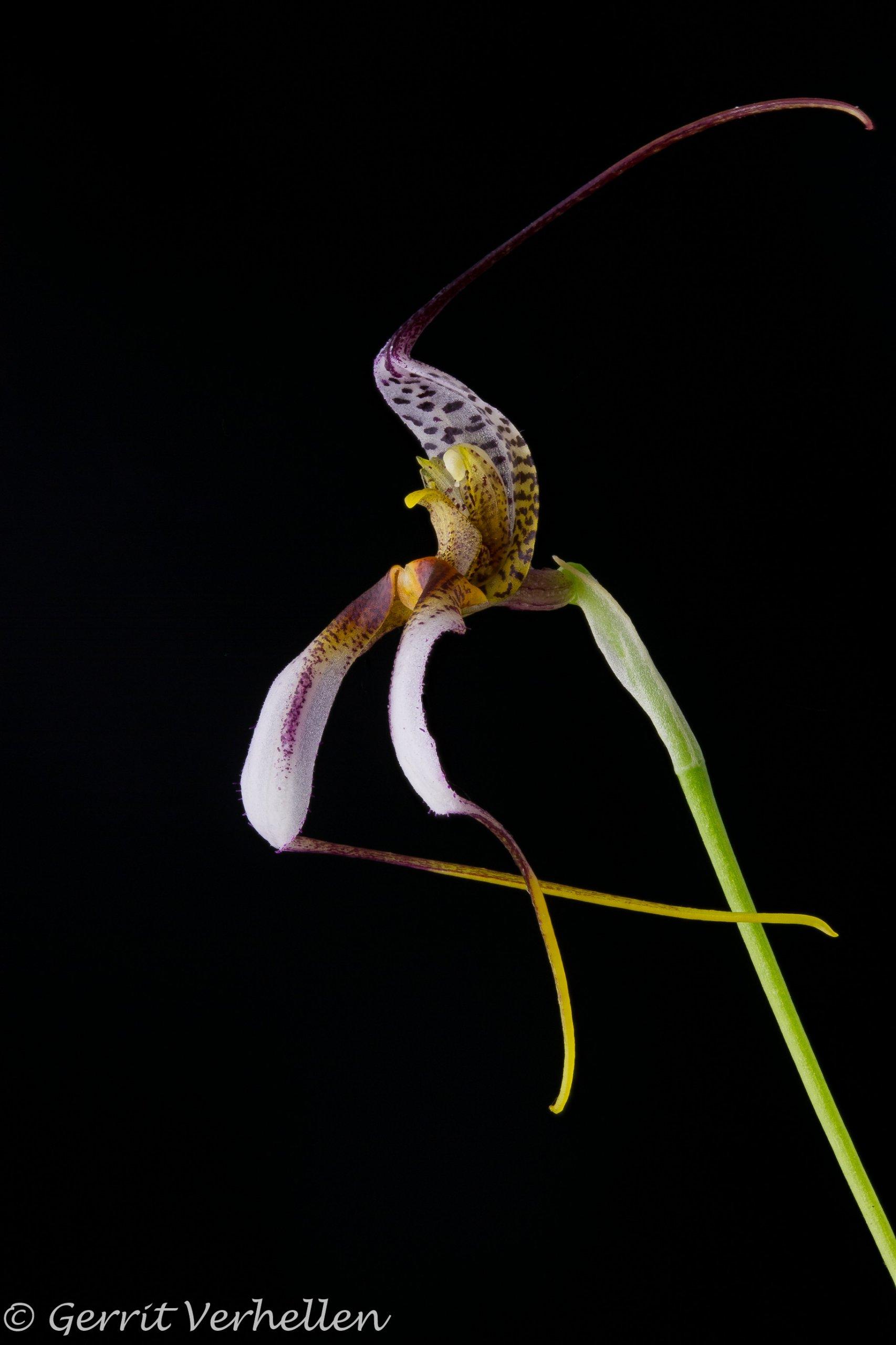Masdevallia hortensis-210407-2.jpg