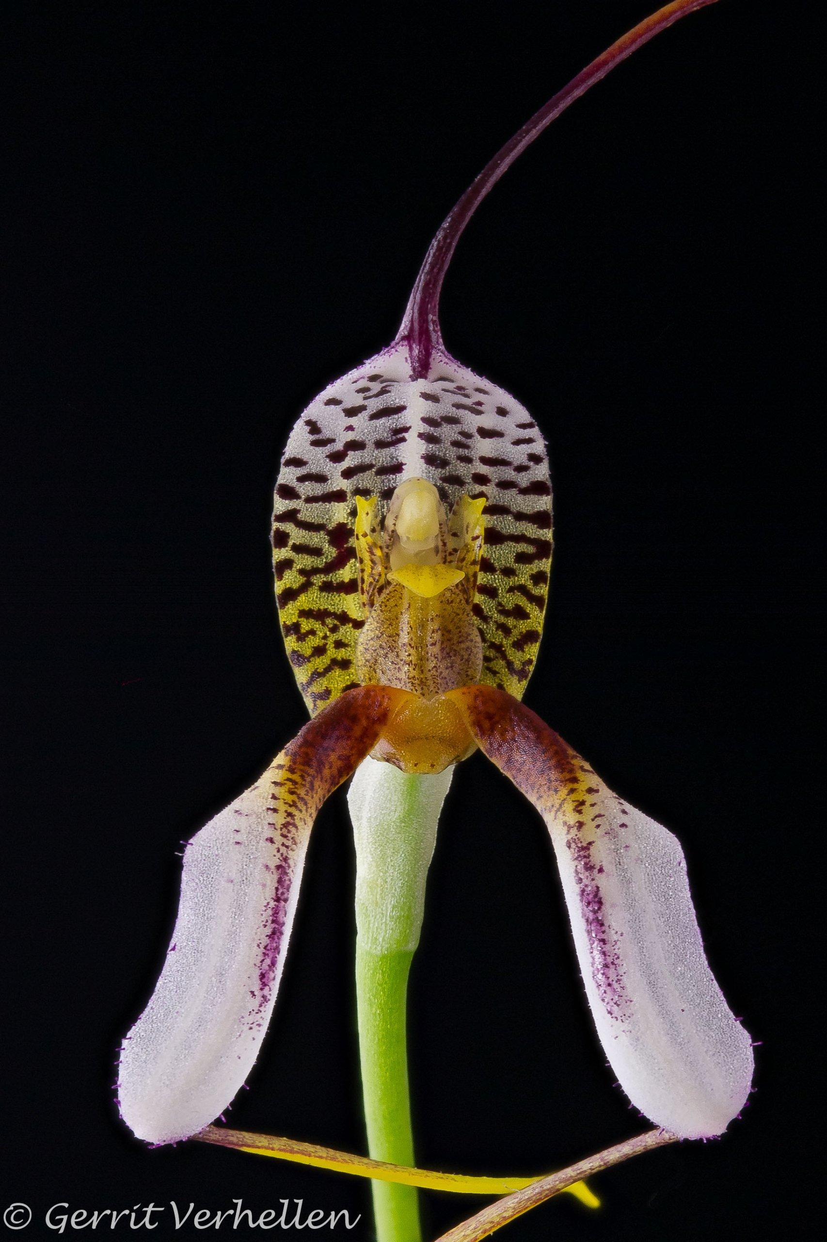 Masdevallia hortensis-210407-2-2.jpg
