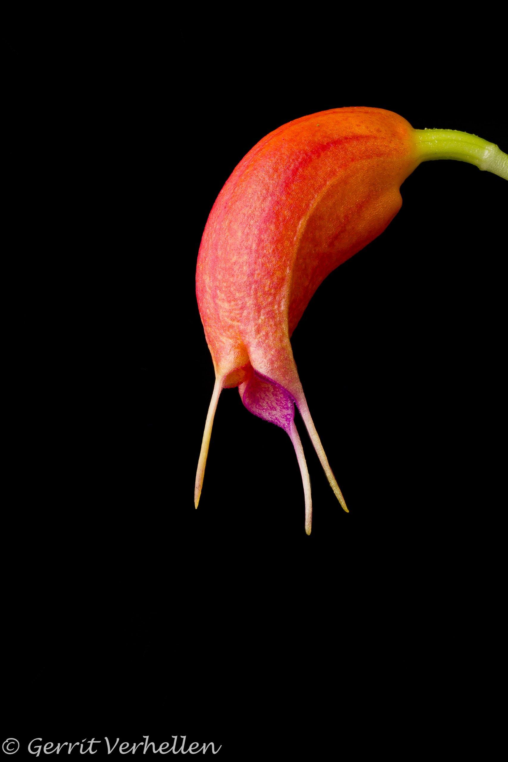 Masdevallia lucernula -210503-5.jpg