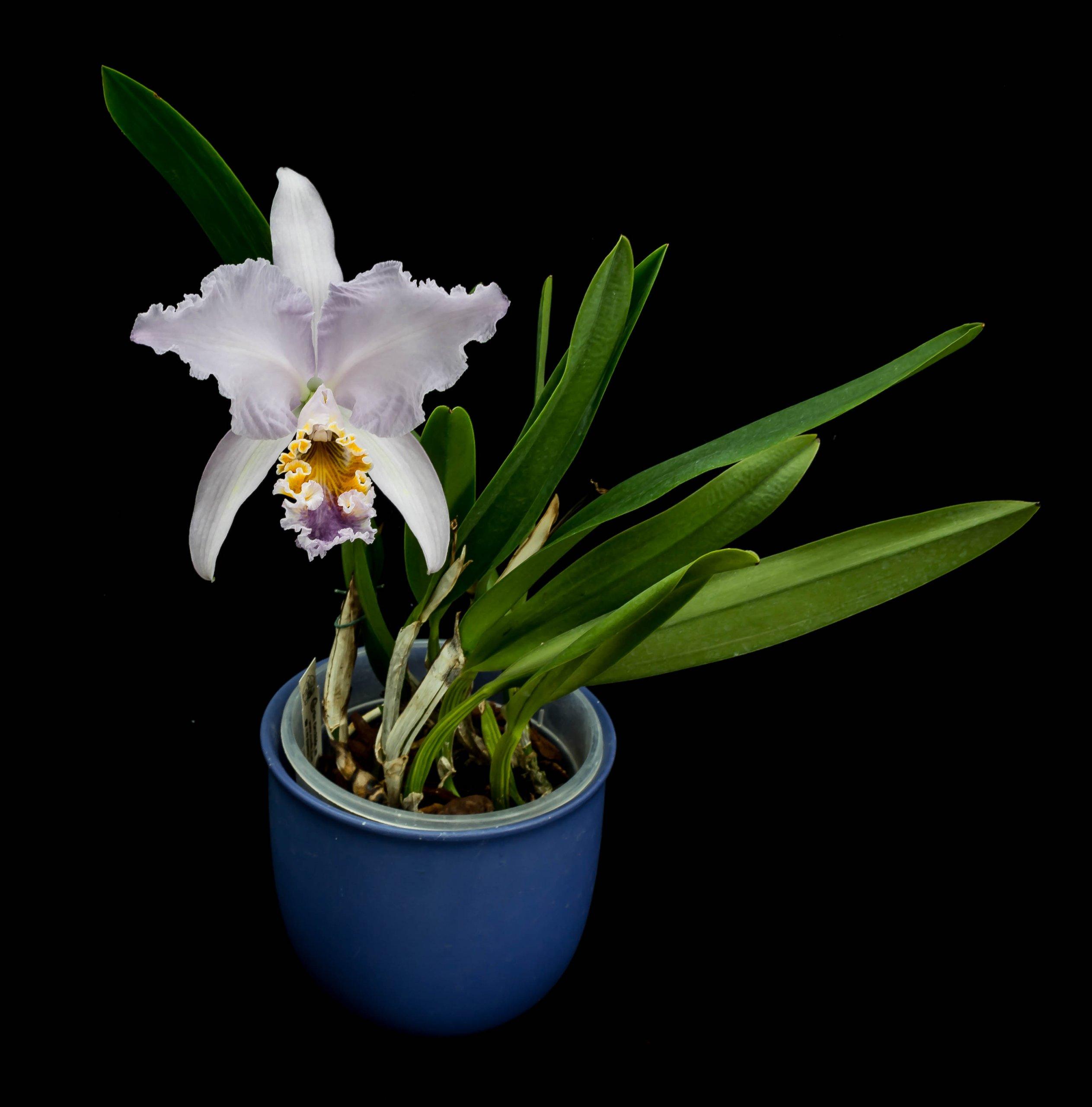 16052021 Cattleya mossiae var. coerulea (1).jpg