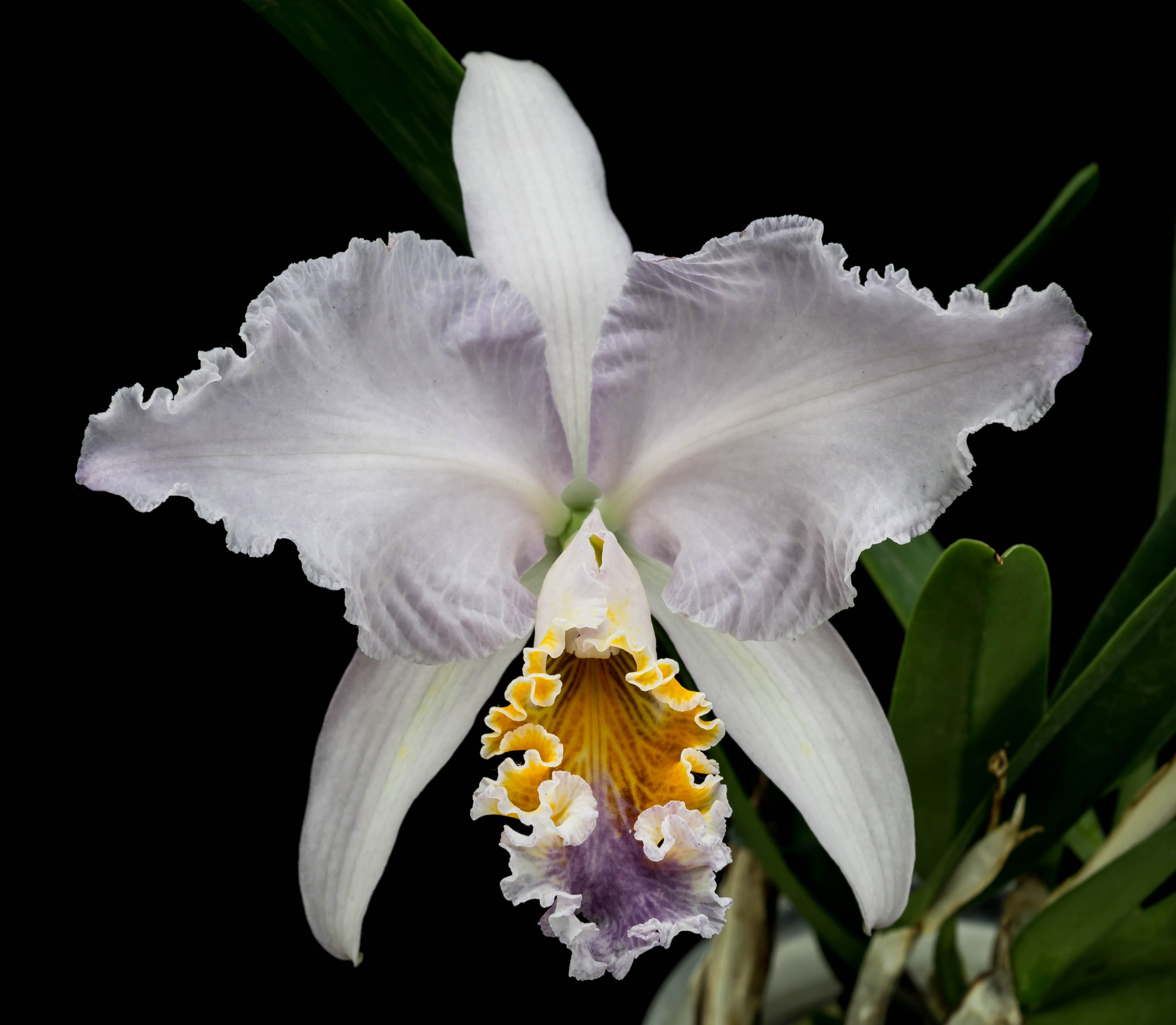 16052021 Cattleya mossiae var. coerulea 1 (1).jpg