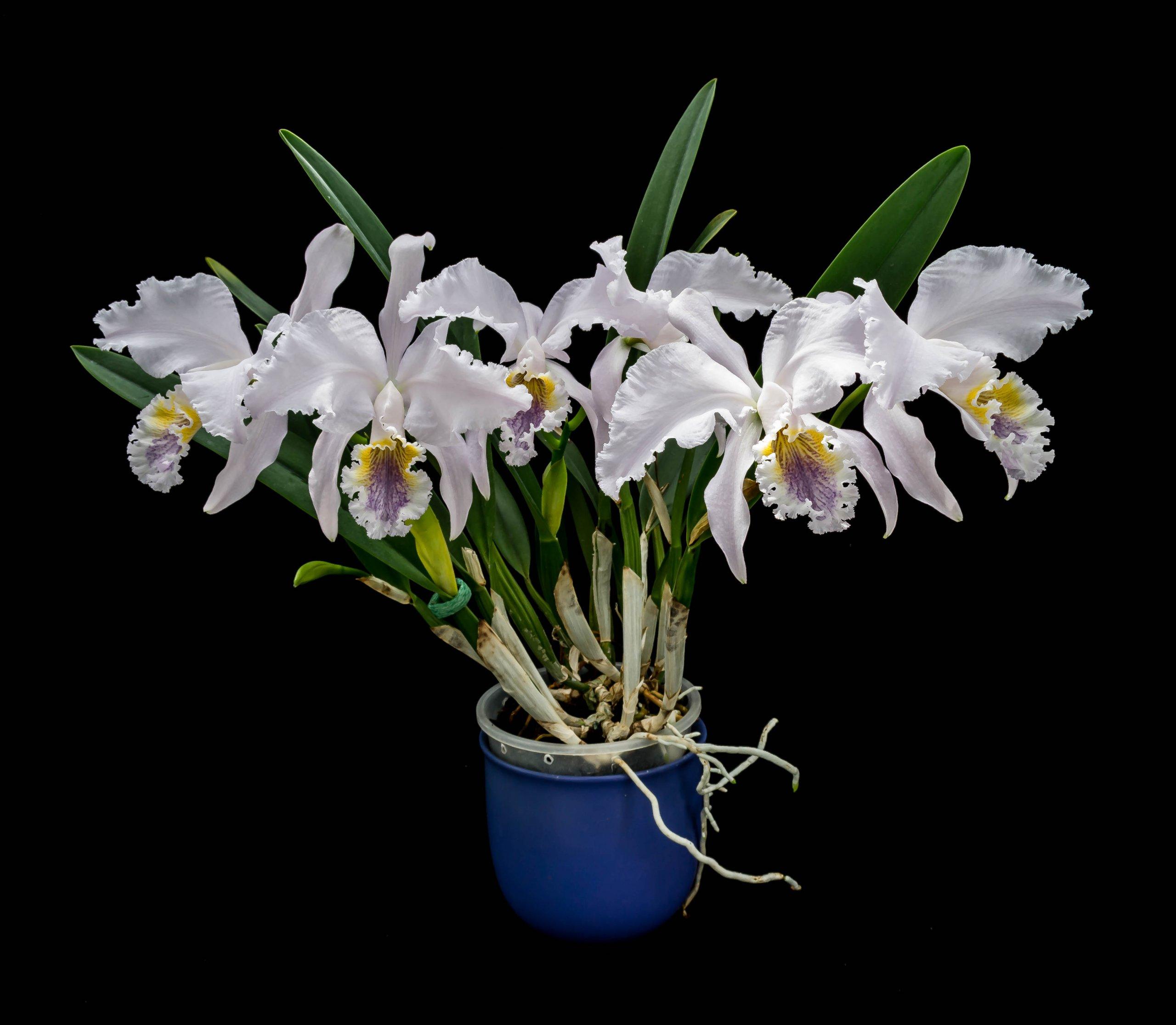 16052021 Cattleya mossiae var. coerulea 2 (1).jpg
