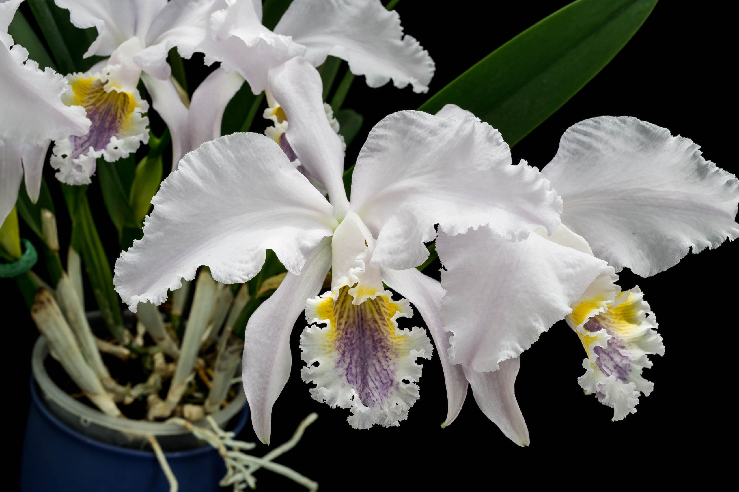 16052021 Cattleya mossiae var. coerulea 2 (4).jpg