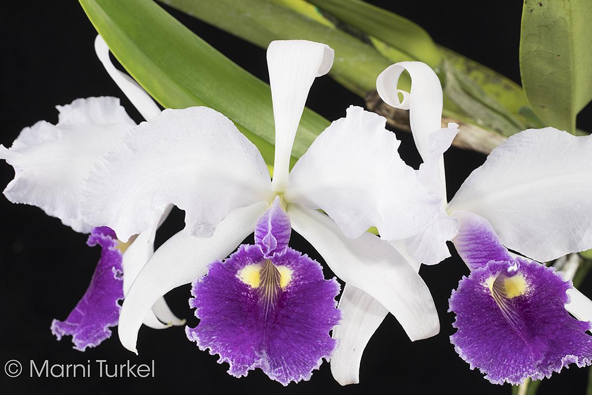 Cattleya warscewiczii.coerulea.5450.jpg