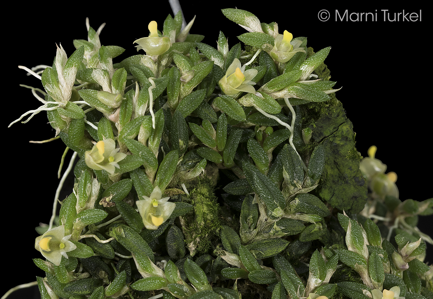 Dendrobium.toressae.tf.flwrs.jpg