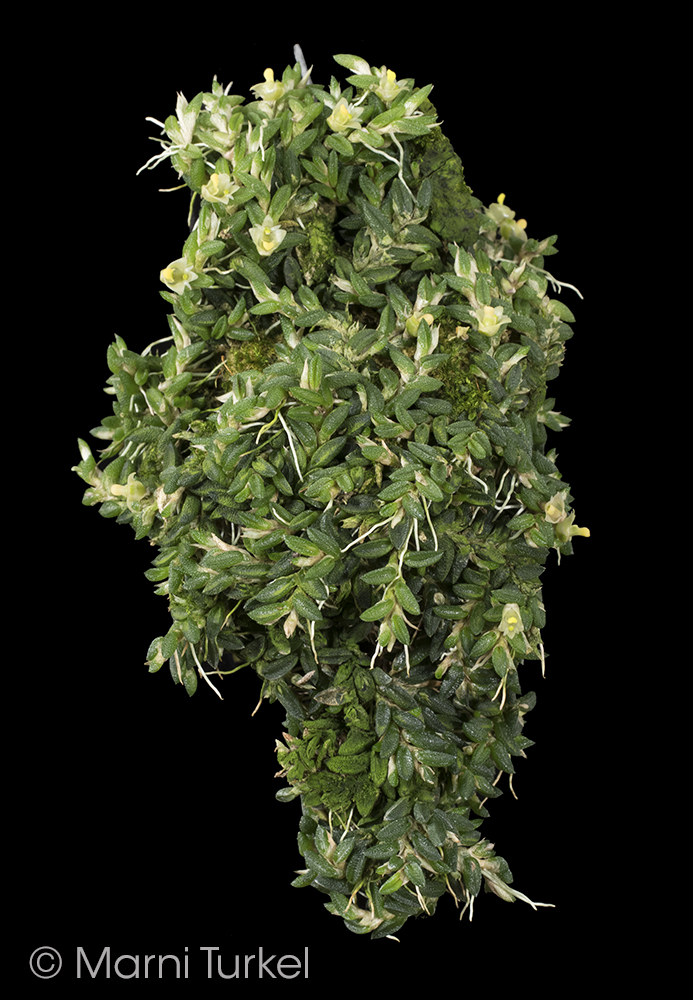 Dendrobium.toressae.tf.habit.jpg