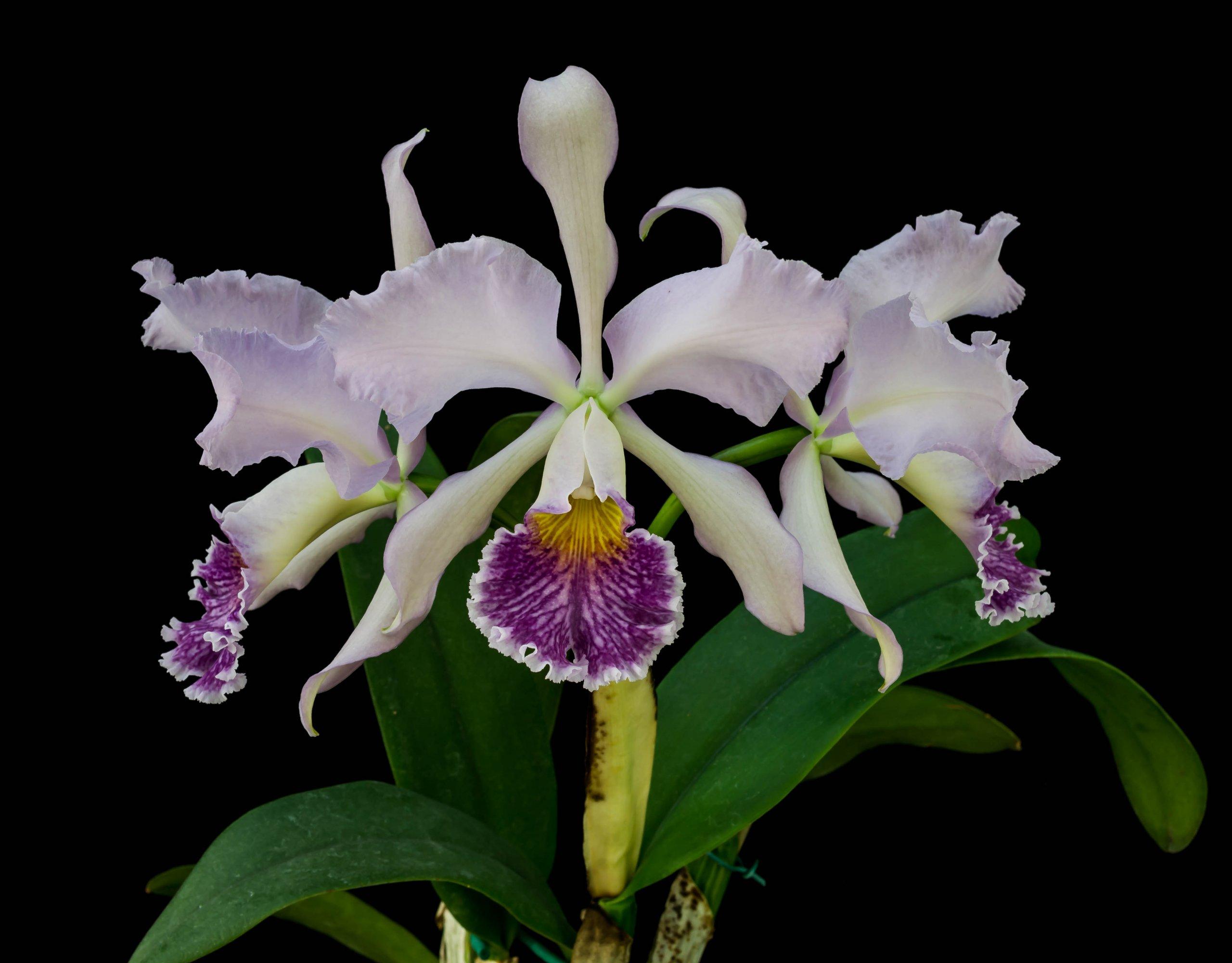 05092021 Cattleya Whitei x Valentine (2)-1.jpg