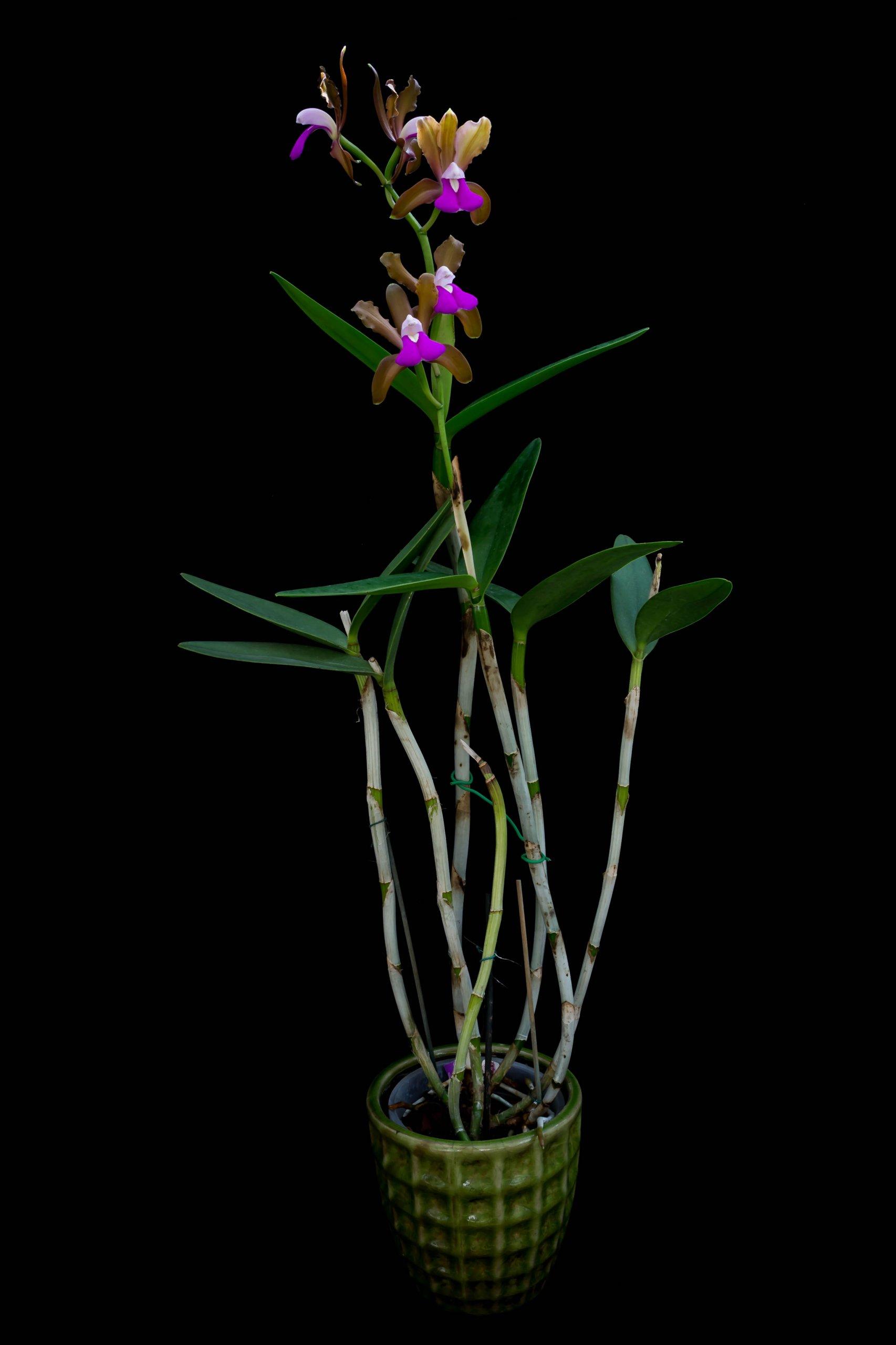 13092020 Cattleya bicolor var braziliense (1)-1.jpg