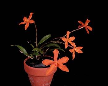 5100_Neocogniauxia monophylla 2.jpg