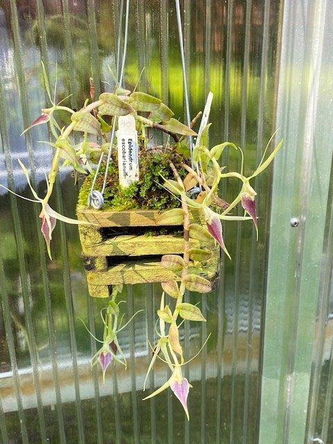 Epidendrum escobarianum3.jpeg
