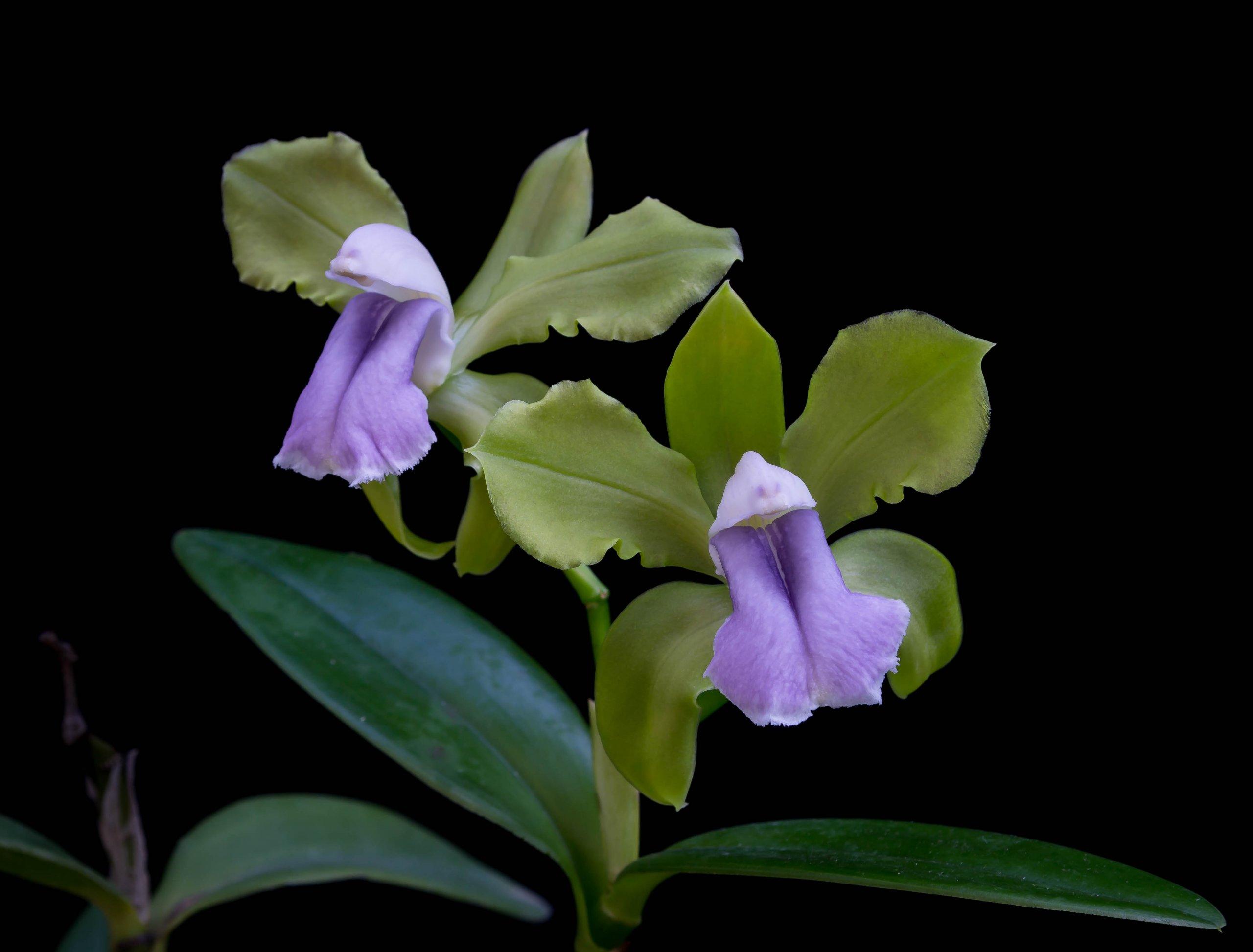 23092021 Cattleya bicolor var. coerulea (2)-1.jpg
