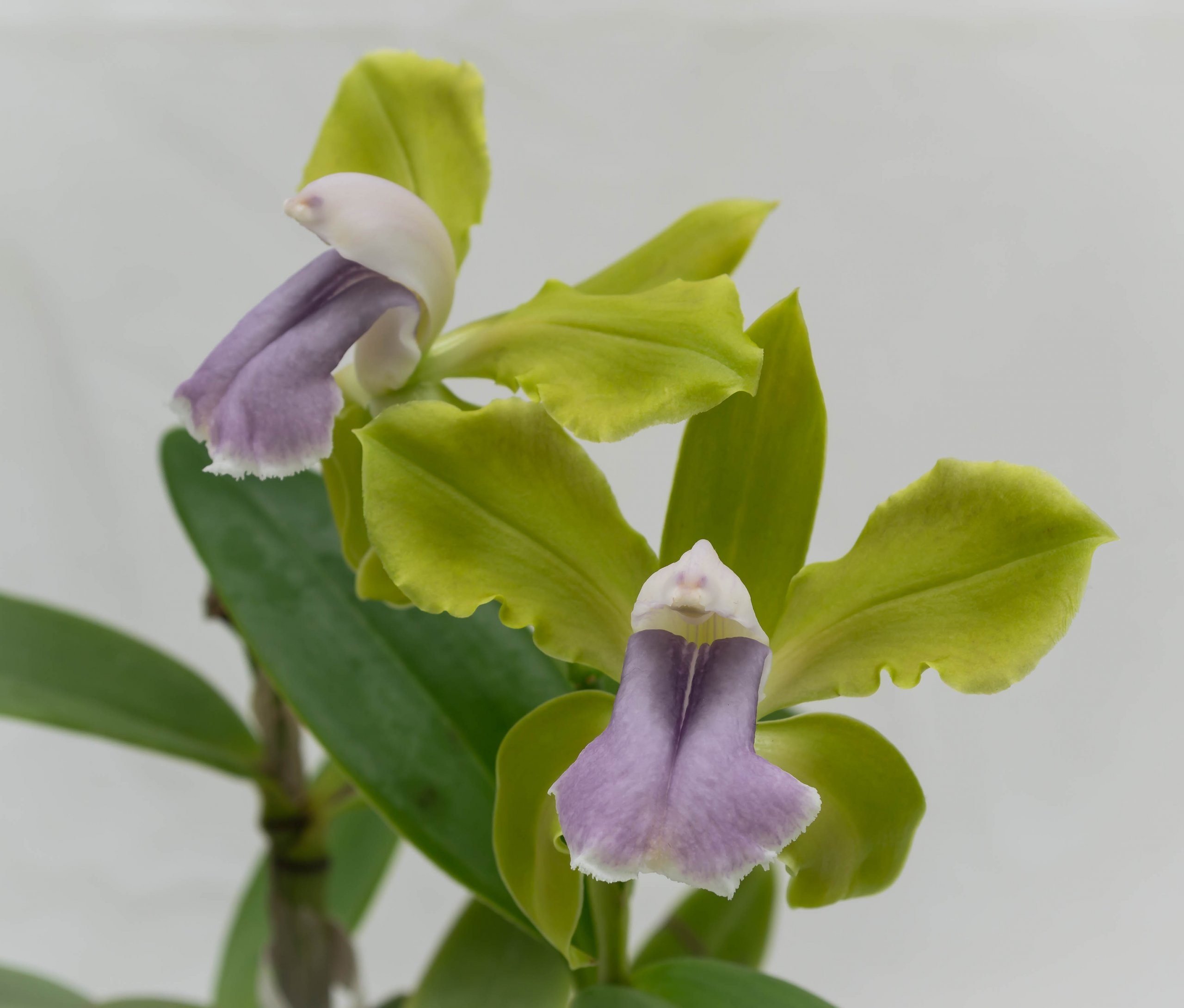 26092021 Cattleya bicolor var. coerulea (2)-1.jpg
