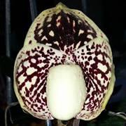 kafew orchid tak thailand