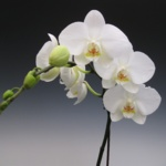 Phalaenopsis Culture for Beginners